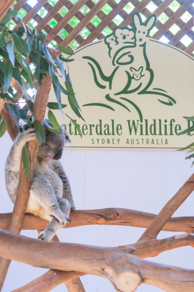 taronga vs featherdale - featherdale koala