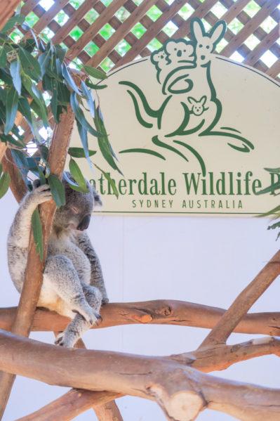 taronga vs featherdale - featherdale koala